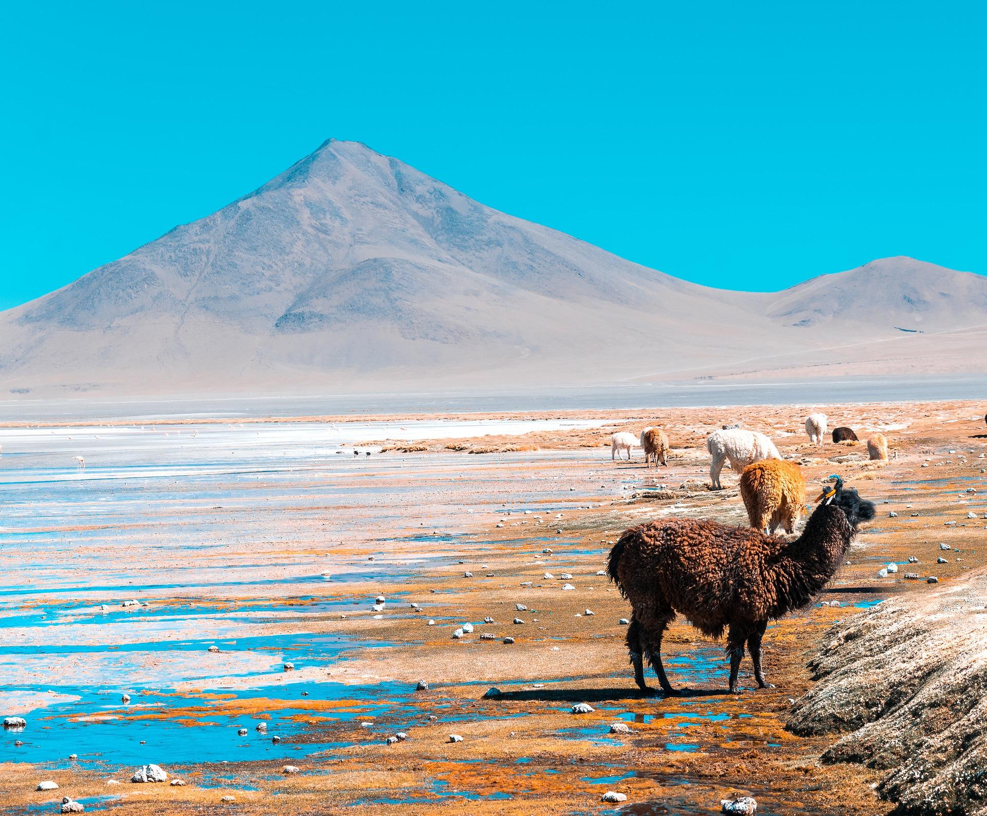 Lamas in Bolivien können am Freitag leider nicht ins Home Office