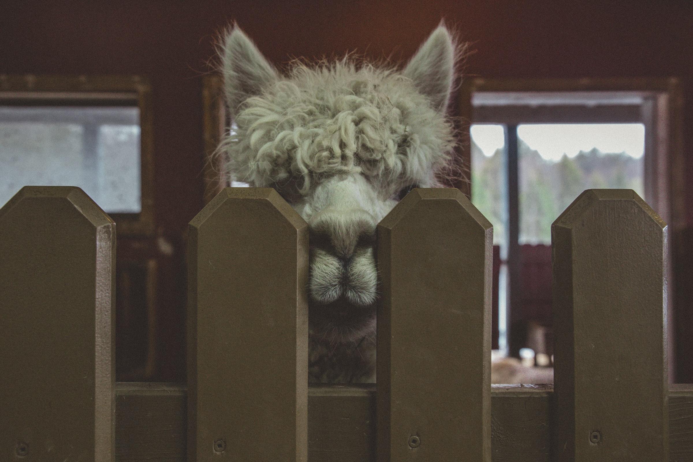 Lama mit Gesicht zwischen Zaunpfosten
