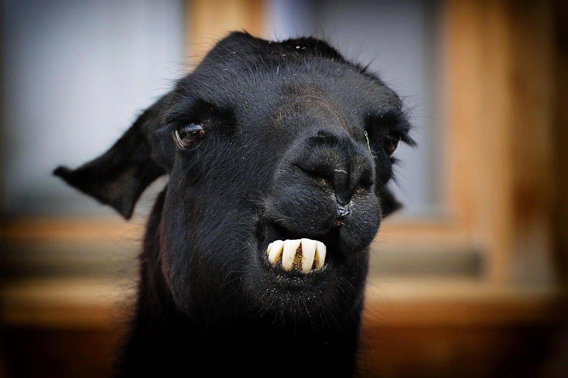 Ob sich dieses Lama gerade einen Blick ins DAMAS geworfen hat und nun froh ist keine Daten pflegen zu können?