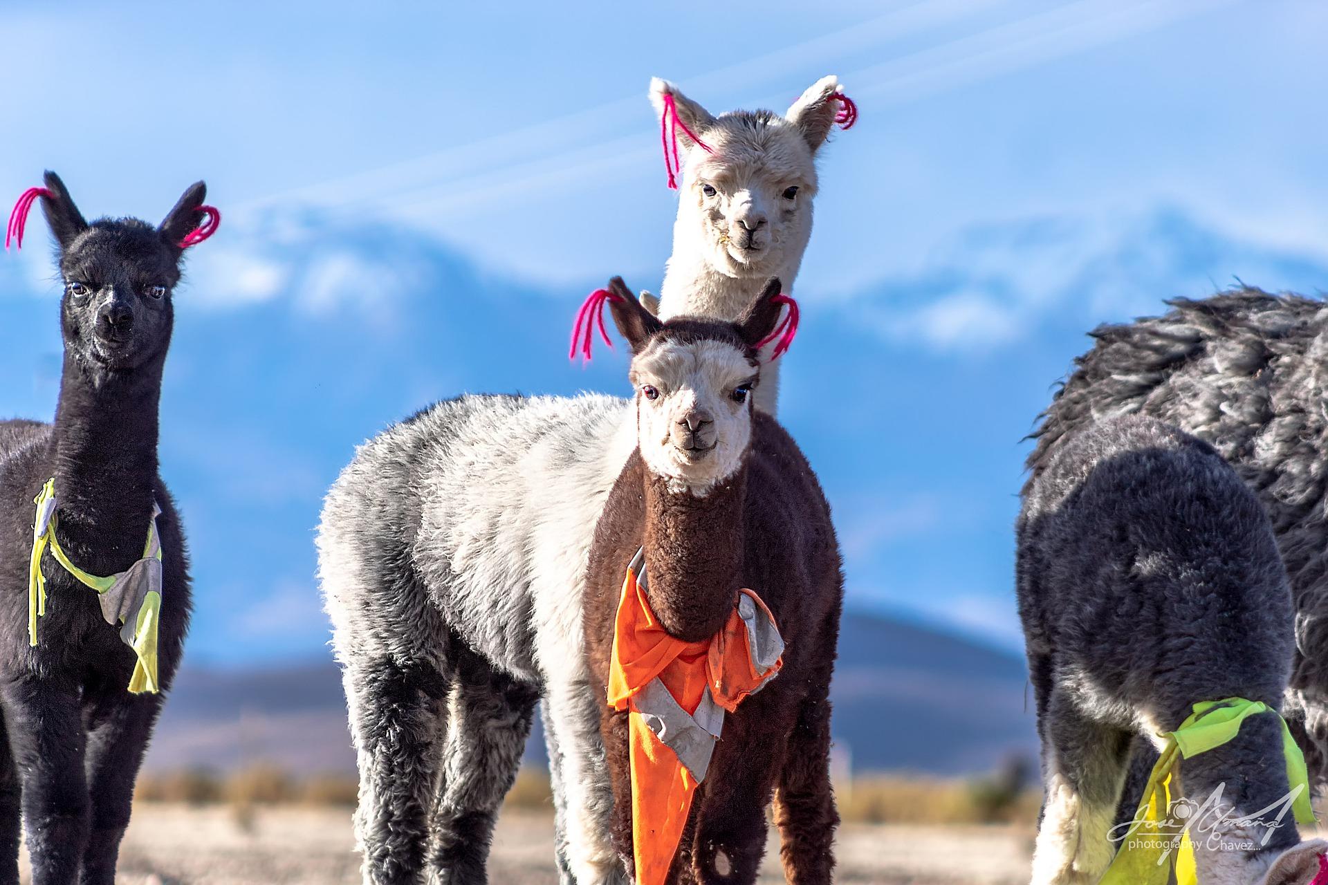 lamas mit westen