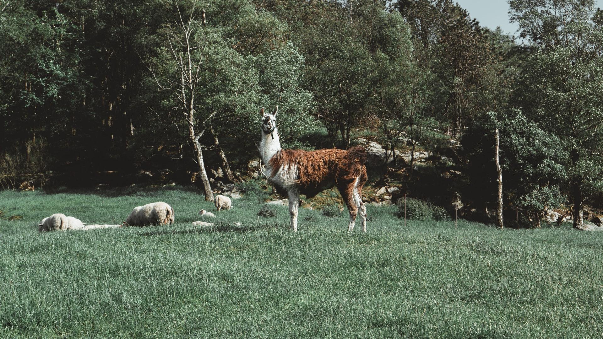 Ein Lama auf der Wiese dass sich keine sorgen um #bloggerlive macht